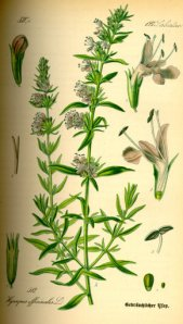 classic graphic of the herb hyssop